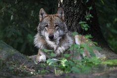 Wolf im Wildpark Schwarze Berge