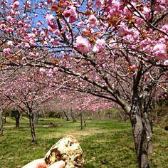 先日、ラーメンにのっけた高菜で 八重桜の下で。 食べたら車でダウン(・_・; - 197件のもぐもぐ - 激辛?高菜 4月14日☀ by akubisamurai