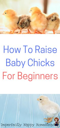 How To Raise Baby Chicks, For Beginners. A Simple Guide to Get You Started.