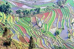 Colorful  Irrigated Rice Field in China