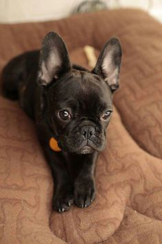 'Baby Lychee', the French Bulldog Puppy.