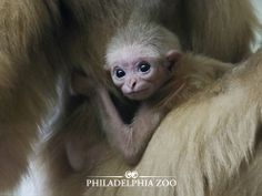 Except for a small tuft of hair on their heads, newborn gibbons are hairless.This moment was captured by Camera Club member Sharon Sipple. Philadelphia Zoo, Baby Boom, Primates, Photos Of The Week, Baby Pictures, New Baby Products, Cute Animals, Photo And Video, Club
