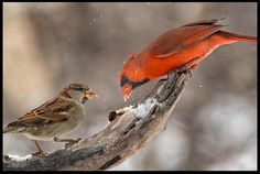 """Visual #BibleVerseoftheDay: Acts 2:46-47 and A House Sparrow and Cardinal Share a Winter Snack, Bellevue, Nebraska. """"They were taking their meals together with gladness and sincerity of heart…"""" CLICK THE PHOTO to be blessed with the complete passage. http://visualverse.thecreationspeaks.com/sharing/"""