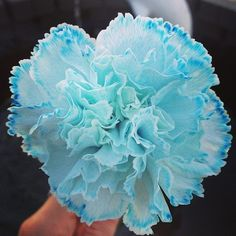 Blue Dyed Carnation flower blue flowers beautiful flowers flower pictures carnations carnation