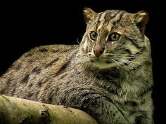 Fishing Cat - It is well adapted to this habitat, being an eager and skilled swimmer.