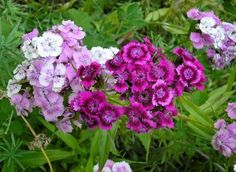 "Dianthus flowers are also called ""pinks."" Dianthus plants may be found as a .Dianthus flowers are also called ""pinks."" Dianthus plants may be found as a hardy annual, biennial or perennial and most often used in borders or pott. Dianthus Perennial, Dianthus Flowers, Flowers Perennials, Planting Flowers, Flowers Garden, Indoor Flowers, Spring Flowers, Gardens, Gardening"