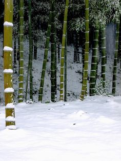 Bamboo forest  with snow - 忙中閑あり?- Jiro Kuwano