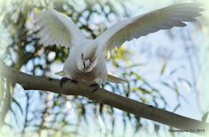 Corella in Gum Tree | Flickr - Photo Sharing!