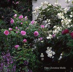 hortensien und rosen seite 1 rund um die rose mein sch ner garten online pflanzen. Black Bedroom Furniture Sets. Home Design Ideas