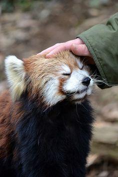 Red Panda loves pets