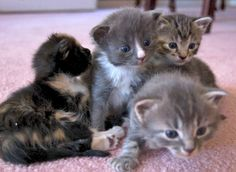 Ming's Babies: Ember [redux]  kitten