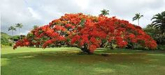 african tulip tree - Google Search