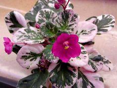 Rob's Macho Devil Полумахровый темно-красный фиалковый цветок долго держится на растении; пестрая розово-зеленая листва. Полумини