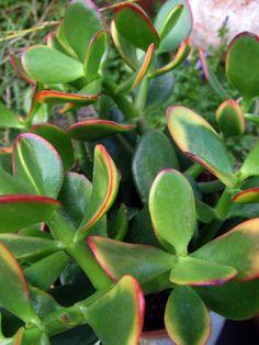 "Crassula ovata ""Hummel's Sunset"" Crassula Ovata, Pictures Of Succulents, Jade Bonsai, Succulent Ideas, Creative Landscape, Jade Plants, Digital Fabrication, Cactus Y Suculentas, Planting Succulents"