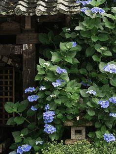 Hydrangea Nostalgia #japan