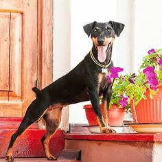 14 Things You Need to Know About the Jagdterrier Pets 3, Pet Dogs, Dog Cat, Prey Animals, Rottweiler Puppies, Dog Activities, Cute Cats And Dogs, Terriers, Puppy Love