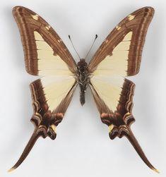 Eurytides leucaspis