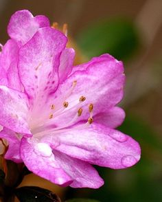 Rooting azaleas from established plants is an easy way to have additional plants. Rooting your own azaleas is practically free, and you propagate many new plants from a single...