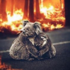 The AKR team has major concerns for the koalas of French Island - as bushfires continued to rip through about 85 hectares of national park… Australia Funny, Australia Animals, South Australia, Animals And Pets, Baby Animals, Bushfires In Australia, Les Innocents, Wild Fire, Tier Fotos