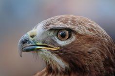 clear & sharp - bird of prey