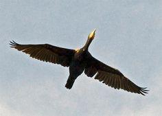 flying cormorant_DSC4376 (Large)