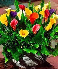 真のオランダカイウユリ球根、オランダカイウ球根(ないオランダカイウユリ種子)盆栽花球根zantedeschia aethiopicaホームガーデン植物2電球/バッグ