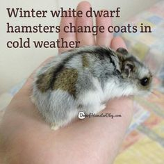 Winter white dwarf hamsters change coat in cold weather