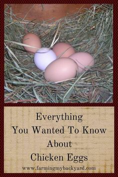 Ever found a funny looking egg from your backyard hens? Maybe they aren't laying as much? Here are your questions about chicken eggs answered!