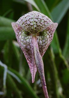 Bulbophyllum arfakianum ABG 20050050 - My site Weird Plants, Unusual Plants, Rare Plants, Exotic Plants, Cool Plants, Strange Flowers, Unusual Flowers, Wonderful Flowers, Rare Flowers