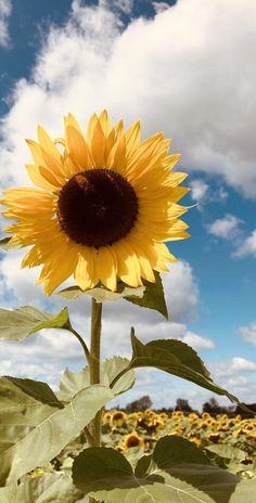 Mint Wallpaper, Sunflower Wallpaper, Iphone Background Wallpaper, Aesthetic Iphone Wallpaper, Nature Wallpaper, Galaxy Wallpaper, Aesthetic Wallpapers, Sunflower Garden, Sunflower Flower