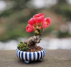 Based on the flowers, I'd say the tree is a quince. The photos trees and pots shown here all belong to Michiko Koide.