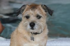 Border Terrier Border Terrier, Little Brown, Brown Dog, Terriers, Puppy Love, Puppies, Pets, Board, Pictures