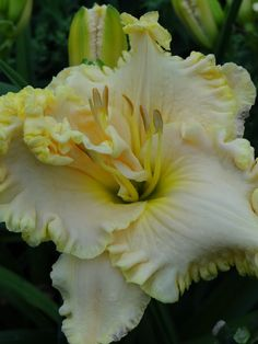 Change is good. | Daylily Haiku Thursday ~ a girl and her garden.  THELMA DOUGLAS DAYLILY
