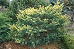 Pinus parviflora Ogon Goyo Dwarf, Shrubs, Plants, Shrub, Plant, Planets