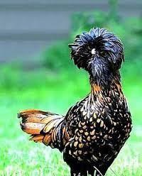 Resultado de imagem para galinhas ornamentais sedosa