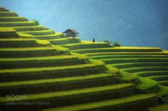 Rice fields on terraced Vietnam by SasinTipchai #nature #travel #traveling #vacation #visiting #trip #holiday #tourism #tourist #photooftheday #amazing #picoftheday