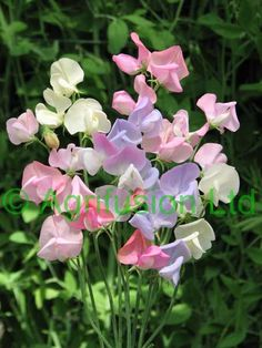 Sweet peas come in many beautiful colors. They are very delicate, almost like tissue paper.