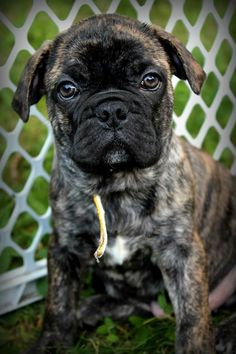 #puppies #puppy #pug #bulldog #boxer #stripes #cute #puppy #brown