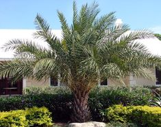 Date Palm Tree   http://www.sunpalmtrees.com/gallery/date-palm/True_Date_Palm_1-1.jpg