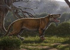 """Scientists found the 22 million-year-old fossils of a giant carnivore they call """"Simbakubwa"""" sitting in a museum drawer in Kenya. The predator, a hyaenodont, was many times larger than the modern lions it resembles, and among the largest mammal Gato Grande, Carnivore, Extinct Animals, Museum, Prehistoric Creatures, Big Cats, Polar Bear, Mammals, Larger"""