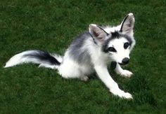 Canadian marble fox