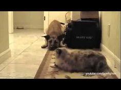 Estos perros no pasan donde hay un gato. Mira el final del video: Tenían razón!