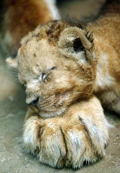 One-month-old lion cub, Mello, lays his head on the paw of his mother Veni at Prigen Safari Park in Pasuruan, East Java, Indonesia