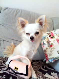 Chanel 1yr old female long haired chihuahua, London Anna