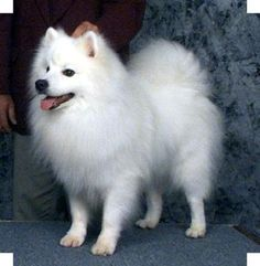 "I want a minature american eskimo dog and will name it ""Hiro"" if it's a boy or ""Nala"" for a girl. :)"