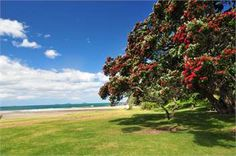 A beautiful Pohutakawa Tree. Or NZ Christmas tree as we sometmes call it because it flowers over Christmas Photo Christmas Photos, Christmas Tree, New Zealand Art, All Things New, Ocean Beach, Pacific Ocean, Renting A House, Golf Courses, Surfing
