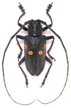 Beetle Insect, Beetle Bug, Insect Art, Cool Insects, Bugs And Insects, Insect Orders, Longhorn Beetle, A Bug's Life, Animal Species