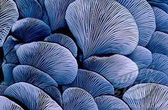 oyster fungi, New Zealand blue and greys Patterns In Nature, Textures Patterns, Wild Mushrooms, Stuffed Mushrooms, Motif Photo, Mushroom Fungi, New Shape, Henri Matisse, Natural Forms