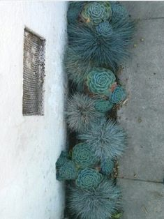This is an excellent solution to a narrow area. Mini blue oat grass and succulent garden spotted on a walk nice for a narrow area of earth-For the Back yard planter or by the wall? or front yard planter? Cacti And Succulents, Planting Succulents, Planting Flowers, Succulent Landscaping, Blue Oat Grass, Dry Garden, Garden Grass, Herbs Garden, Blue Garden
