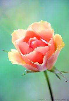 ~~Zingo | pink rose | by humannotdancer~~